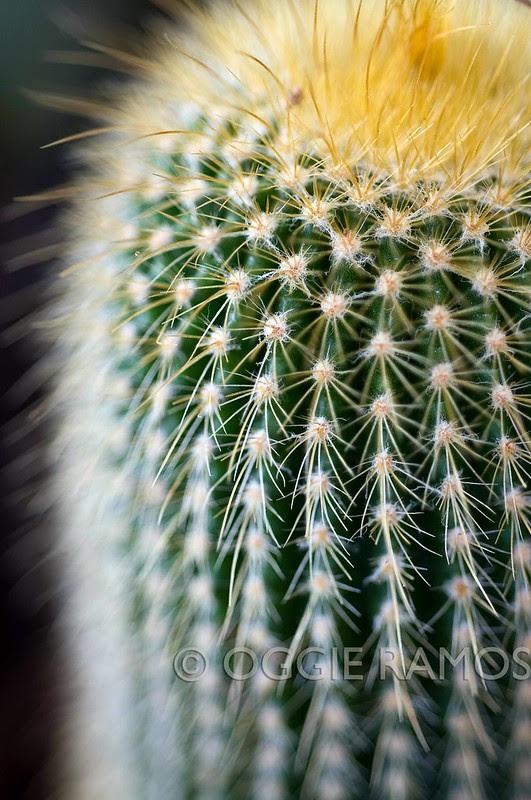 Manila Seedling - Succulent 14