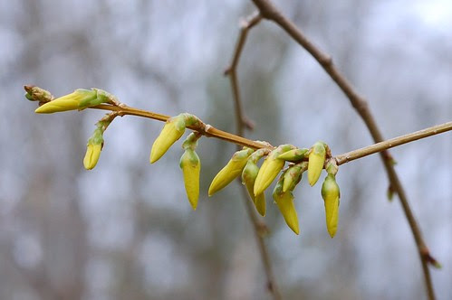 Forsythia buds - so close! by Eve Fox, Garden of Eating blog, copyright 2011