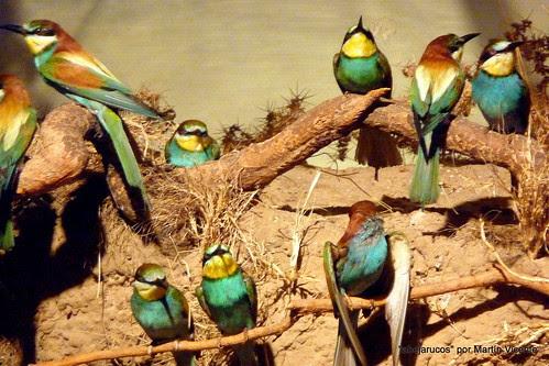 En el Museo de Ciencias Naturales: abejarucos