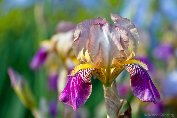 iris, perfection