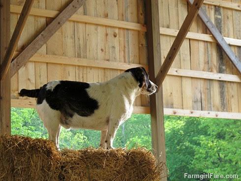 (28-2) Beagle Bert on alert - FarmgirlFare.com