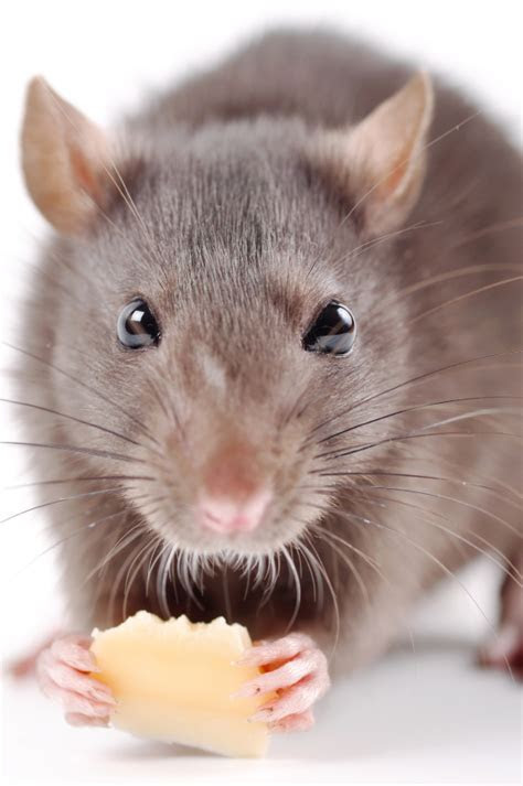 Rat Pest Control   Rodents   Griffin Pest