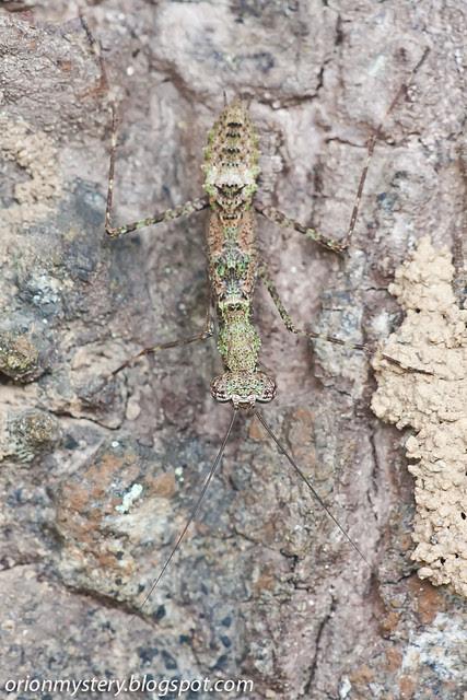 IMG_9774 copy Gimantis sp. mantis