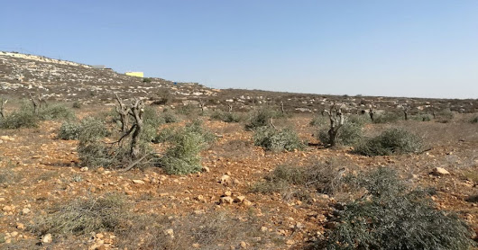 Everyone knows settlers cut down Palestinian olive trees. But Israel doesn't care