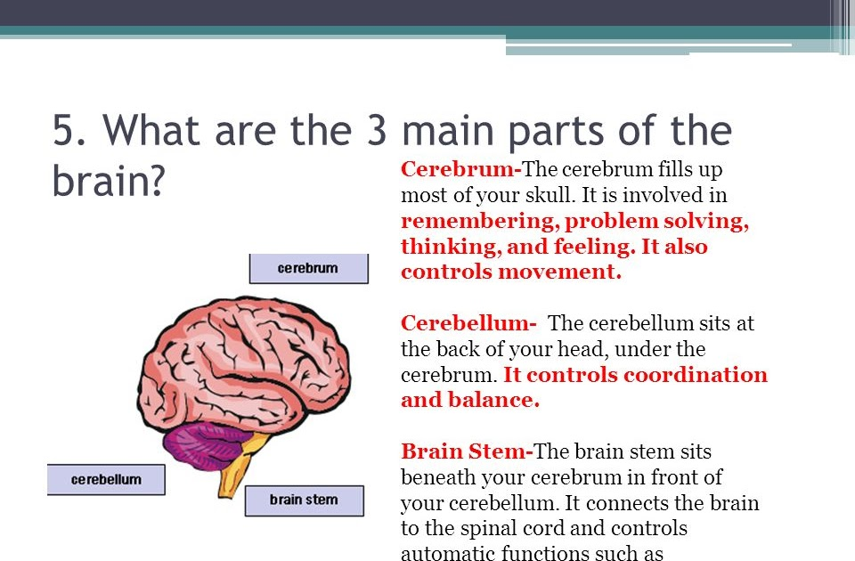 3 Main Parts Of The Brain And Their Functions - Berbagai ...