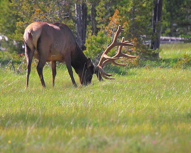IMG_2097 Bull Elk in Summer, Yellowstone National Park