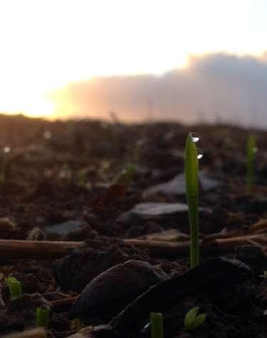 winterwheatsprouting.jpg