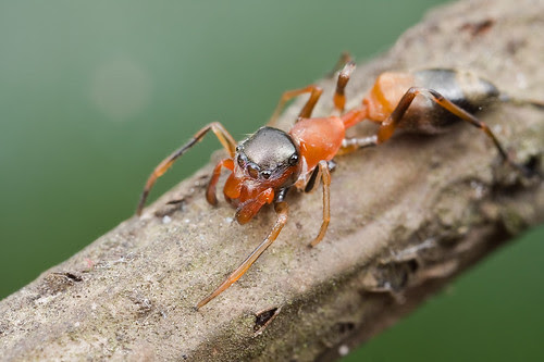 female red and black ant mimic jumping spider IMG_0172 copy