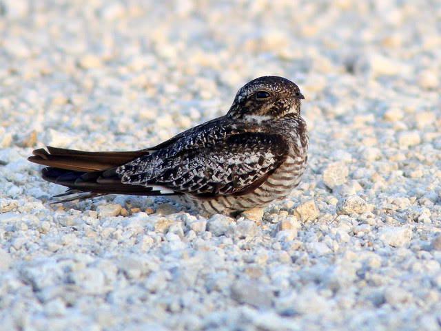 Common Nighthawk 2-20110605