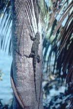 Clumsy Iguana