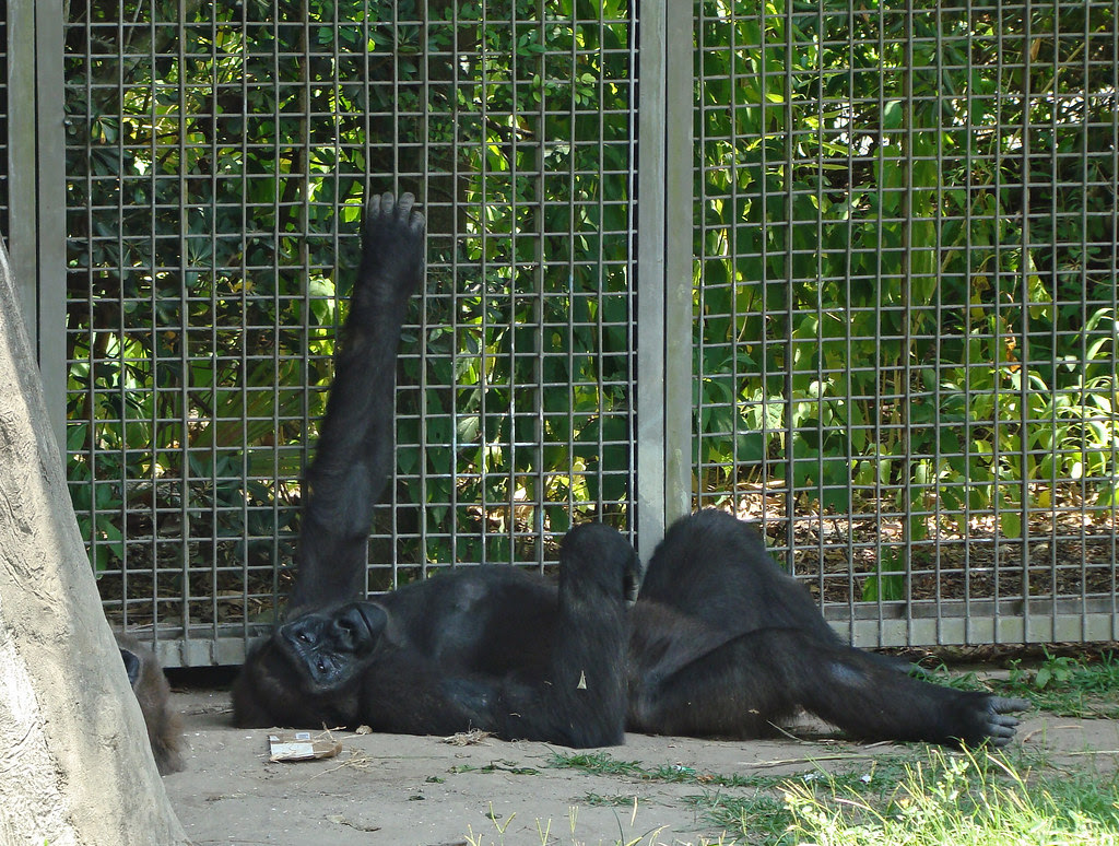 DSC06460 chimpanzee Audubon Zoo