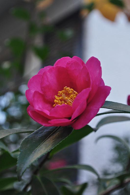 Camellia japonica 'Kanjiro'