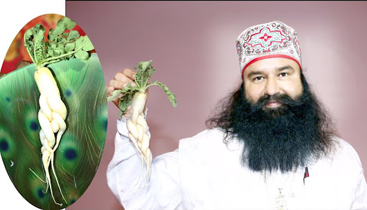 "GURMEET RAM RAHIM on Twitter: ""आश्रम की है देखो यह अजब ग़ज़ब मूली Hard to believe but grown it truely Taste is sweet and look is lovely. #MSG2in472 """