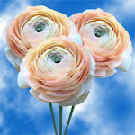 Ranunculus Peach 40Cm 5 Bunches by GlobalRose