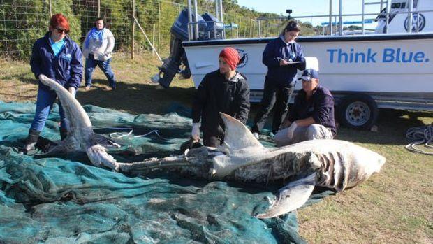 Ataques de orca a baleias não são incomuns, mas ataques a tubarões-brancos surpreenderam cientistas
