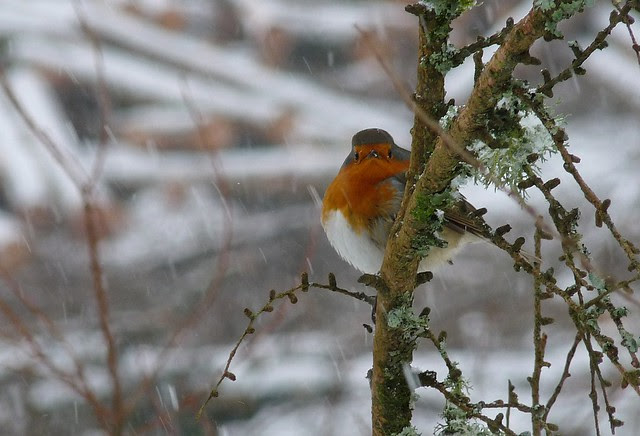 25532 - Robin in Snow