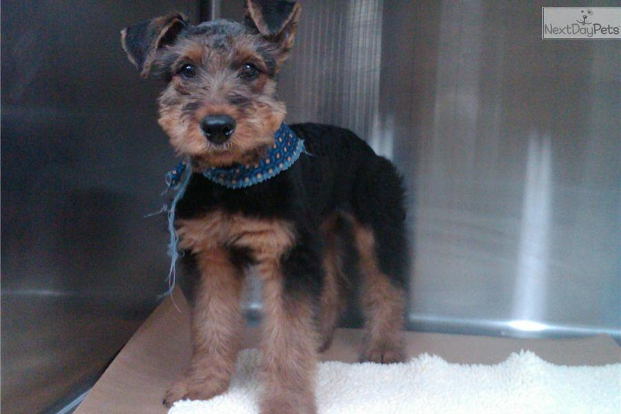 Airedale Terrier puppy for sale near Brunswick, Georgia  23649c127801