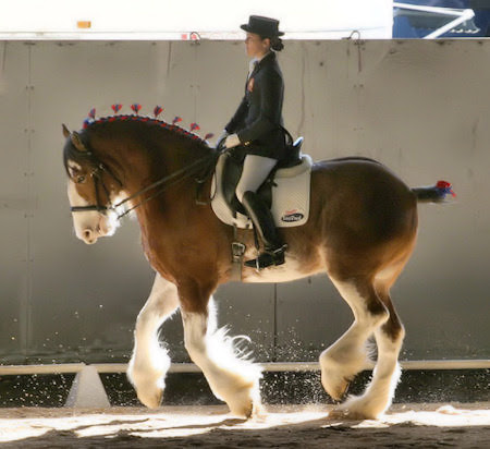 Cheval de trait sur un carré de dressage.