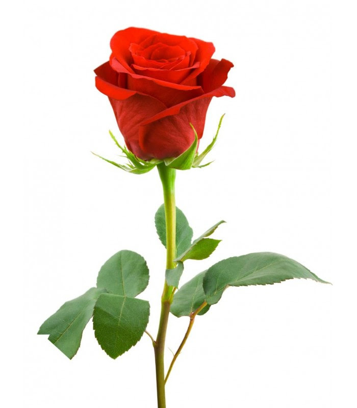 Single Red Rose Long Stem Delivery