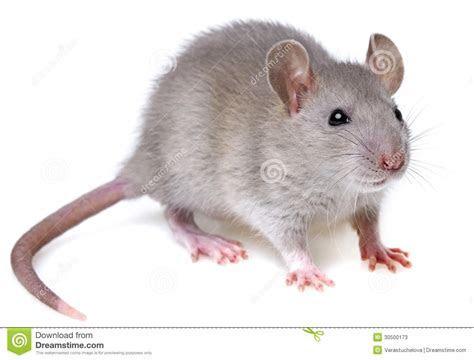 Grey Rat Stock Photos   Image: 30500173