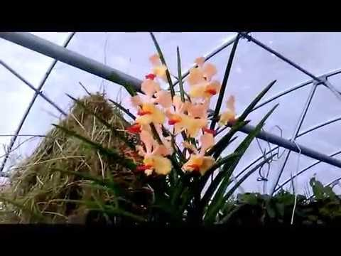 BEST QUALITY YELLOW VANDA ORCHID NOID, MASSIVE ROOTS