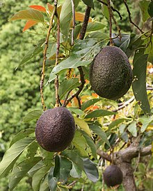 Close-up picture of foliage and avocado fruit