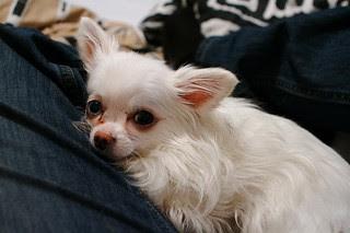 Littleton, Colorado has lap dogs, too.