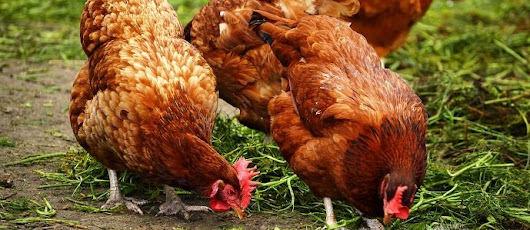 How Sustainable Are Chickens? - The Permaculture Research Institute