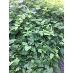 Symphyotrichum cordifolium DP50 Plugs   Conservation Quality Plants by ArcheWild