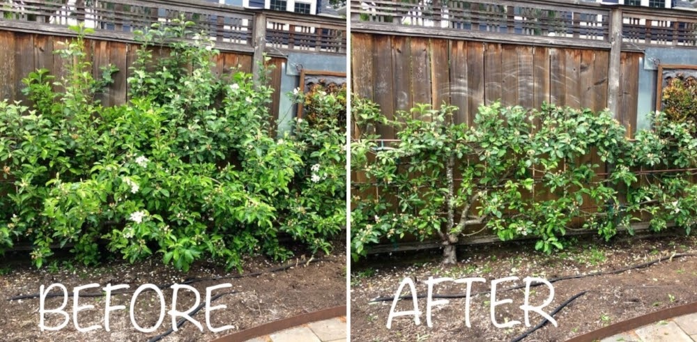 Espalier Fruit Tree Pruning Hands On Backyard Class Google Groups