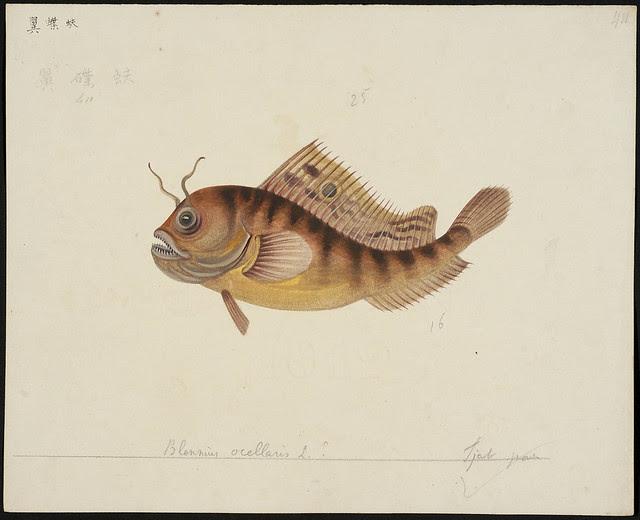 Blennius ocellaris L. [qstnmrk] [Blennius ocellaris Linnaeus, 1758]