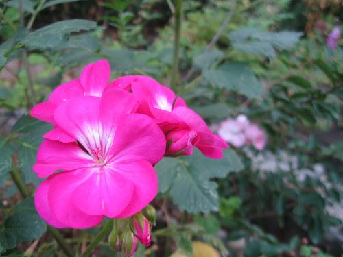 rose pink geranium