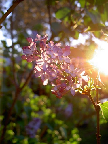 Lilac at sunset