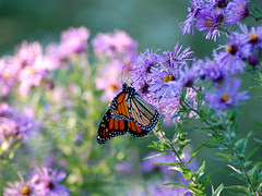 Monarchs in Wildflower Meadow