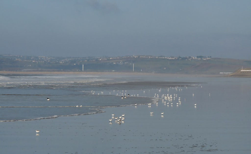 23849 - Sanderling on Aberavon Beach