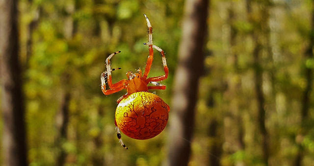 Marbled                       orb-weaver at the Grist Mill Trail, Patapsco                       Valley State Park in Baltimore County, Maryland