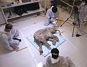 Il mammut studiato al museo di Chicago (Afp)