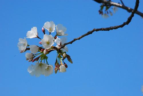 ball of blossom