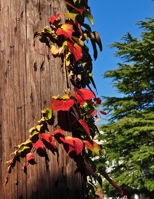 Parthenocissus tricuspidata 'Fenway Park'