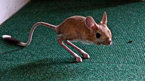 Animal That Looks Like A Big Rat and Desert Wild Packrat Facts When Your Neighbor Is A Rat