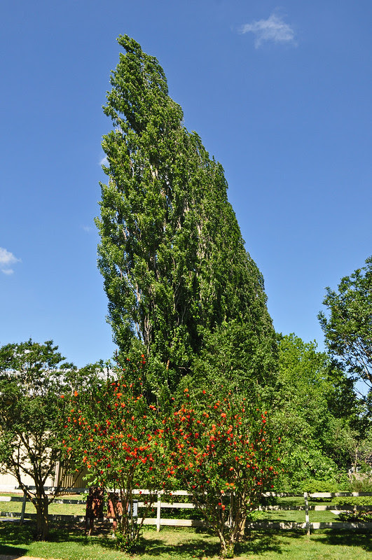Kerr Place - Populus nigra