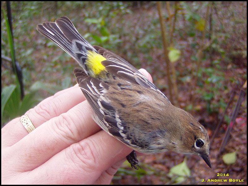 Myrtle Warbler/Yellow-rumped Warbler