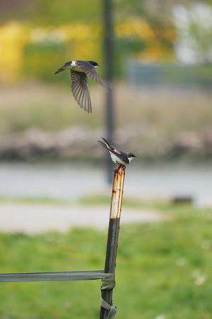 Ed Gaillard: birds &emdash; Tree Swallows mating, Randall's Island
