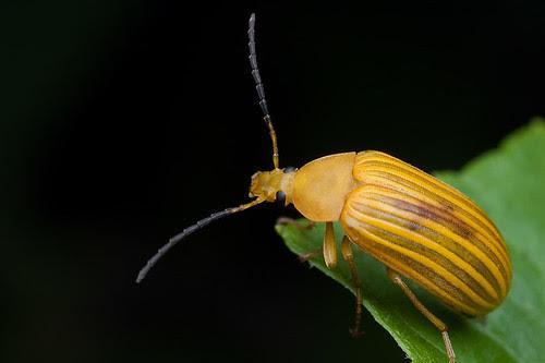 cool striped yellow beetle IMG_9874 copy