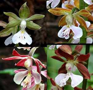Calanthe discolor flower types