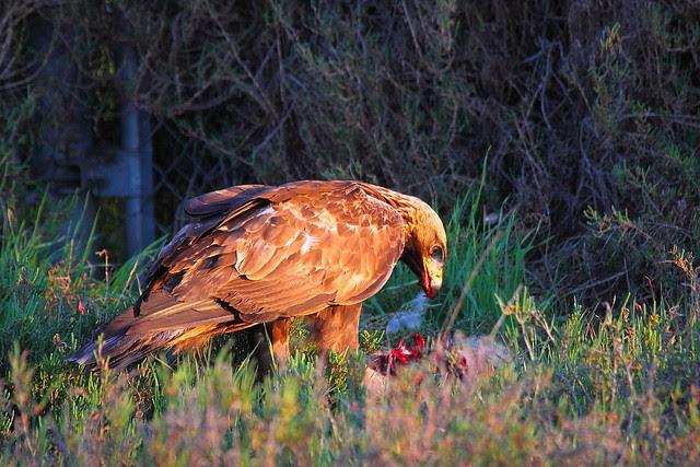 IMG_9623 Golden Eagle