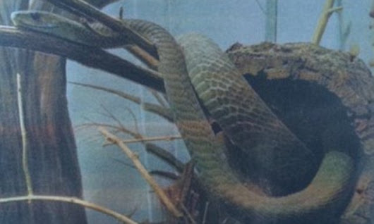 Deadly Black Mamba snake is on the loose in London