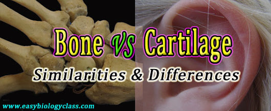 Difference between Bone and Cartilage | easybiologyclass