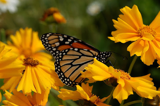 Widespread adoption of roundup-ready genetically modified corn and soybean crops in the US drives population declines of migratory monarch butterflies