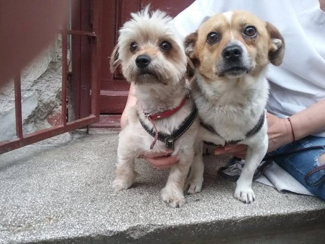 Dodo and Bijoux – 2-3 year old male Jack Russel Terrier Cross and a female Cross-Breed